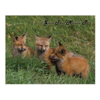 Postal Equipos magníficos del Fox del parque nacional de
