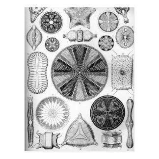 Postal Ernst Haeckel Diatomea