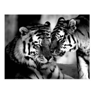 Postal Fauna, tigre asombroso