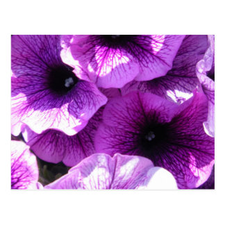Postal Fila de petunias púrpuras