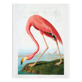 Postal Flamenco de Audubon