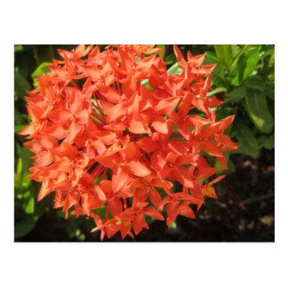 Postal Flor anaranjada de Ixora