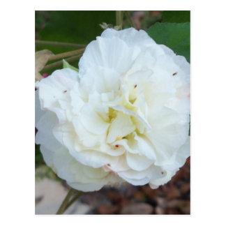 Postal flor blanca de los mutabilis del hibisco