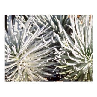 Postal flor blanca de Silversword, flores de Hawaii