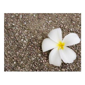 Postal Flor blanca del Frangipani en superficie de la