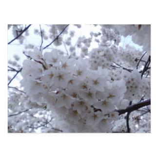 Postal Flor de cerezo