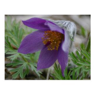Postal Flor de estado norte-sur de Pasque Dakota de la
