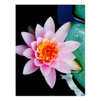 Postal Flor del lirio de agua del loto de las rosas