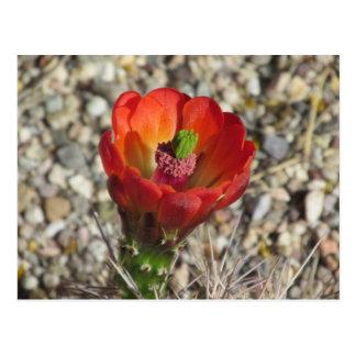 Postal Floración del cactus de erizo de la taza de