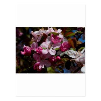 Postal Floraciones florecientes rosadas de Crabapple