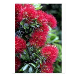 Postal Florecimiento del árbol de Pohutukawa