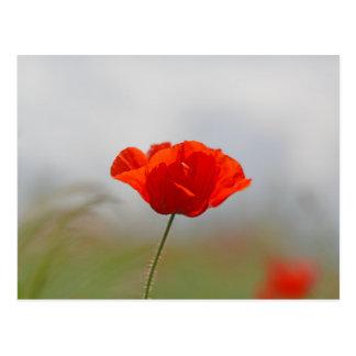 Postal Flores de la amapola común en un campo