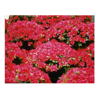 Postal Flores de la azalea del rododendro