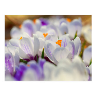 Postal Flores del azafrán