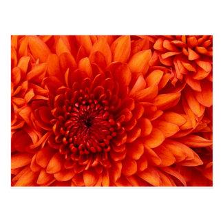 Postal Flores del crisantemo