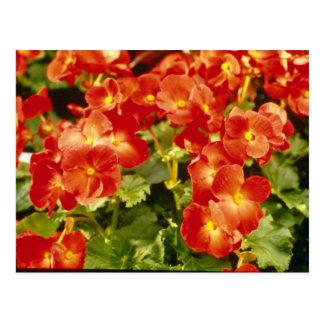 Postal Flores rojas de la begonia X Rex Cultorum (begonia