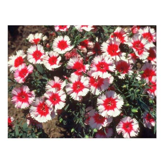 Postal Flores rojas del rosa de China (clavel Chinensis)