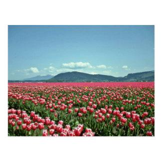 Postal Flores rojas y blancas del campo del tulipán