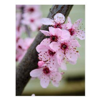 Postal Flores rosadas bonitas de la flor de cerezo
