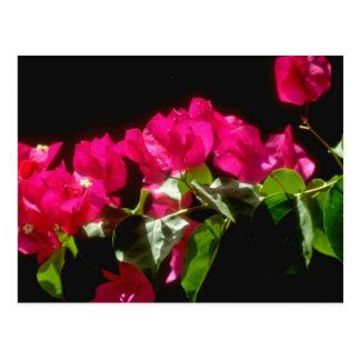 Postal Flores tropicales rosadas, flores de Ocho Rios