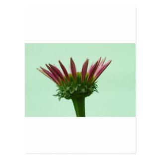 Postal Fondo rosado del flor de Coneflower del Echinacea