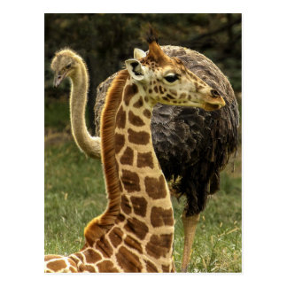 Postal Foto de la fauna de la jirafa y de la avestruz
