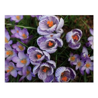 Postal Foto de la flor púrpura y blanca del azafrán