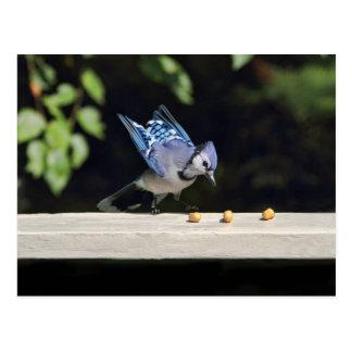 Postal Foto del arrendajo azul del vuelo