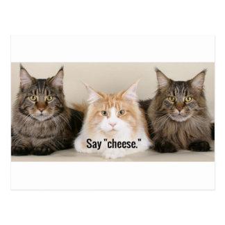 """Postal Foto del estudio - 3 gatos que dicen el """"queso """""""