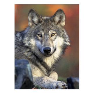 Postal Foto del lobo gris