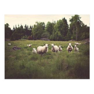 Postal Foto mullida blanca divertida del pasto de las