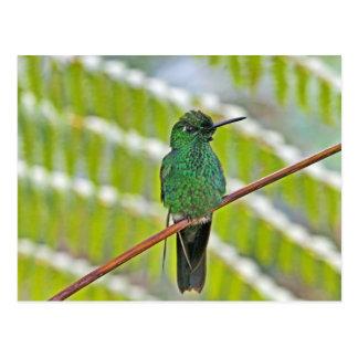 Postal Foto verde del colibrí