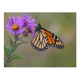 Postal Fotografías de la mariposa de monarca