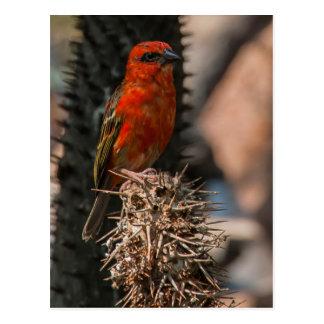 Postal Foudy rojo (Foudia Madagascariensis)
