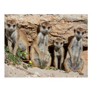 Postal four funny suricate meerkat o, Kalahari