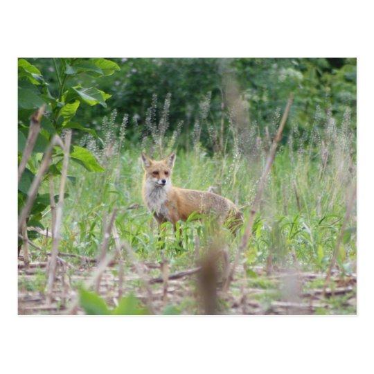 Postal Fox rojo