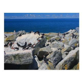 Postal Frailecillos atlánticos Razorbills de la isla del