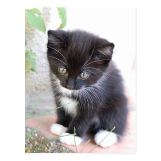 Postal Gatito blanco y negro