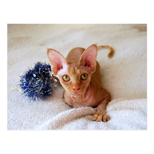 Postal Gato de la esfinge con malla azul