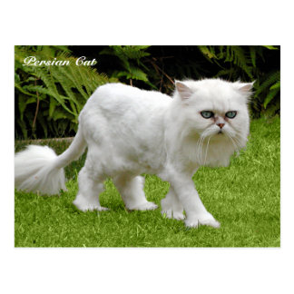 Postal Gato persa blanco chistoso