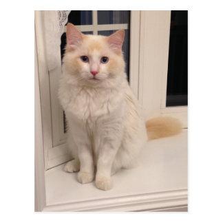 Postal Gato rojo de Ragdoll del punto - bonito que se