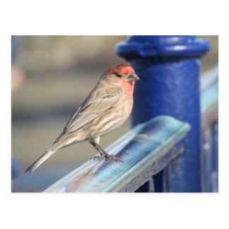 Postal - gorrión rojo en la cerca azul