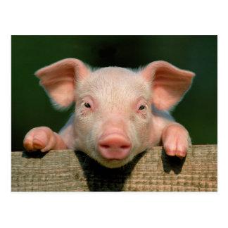 Postal Granja de cerdo - cara del cerdo