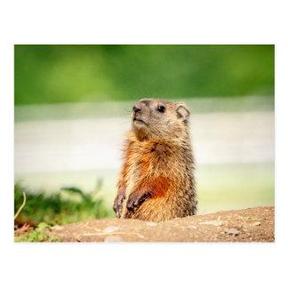 Postal Groundhog joven