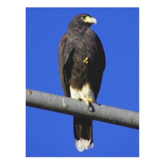 Postal Harris Hawk