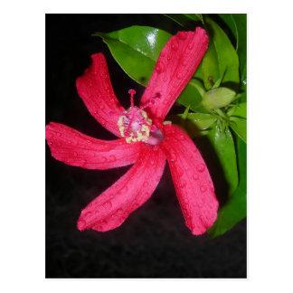 Postal hibiscus rojos