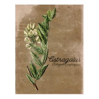 Postal Hierba de la flor del astrágalo del estilo del