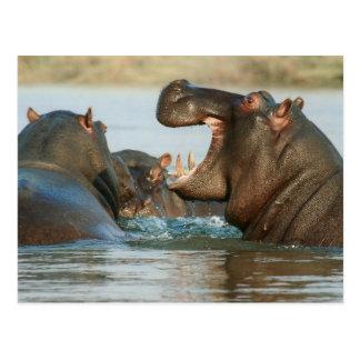 Postal Hipopótamos en agua