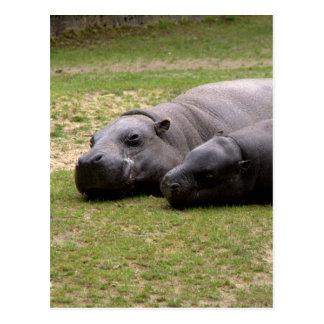 Postal Hipopótamos enanos