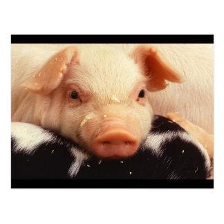 Postal Hocico adorable de la cara del cerdo del